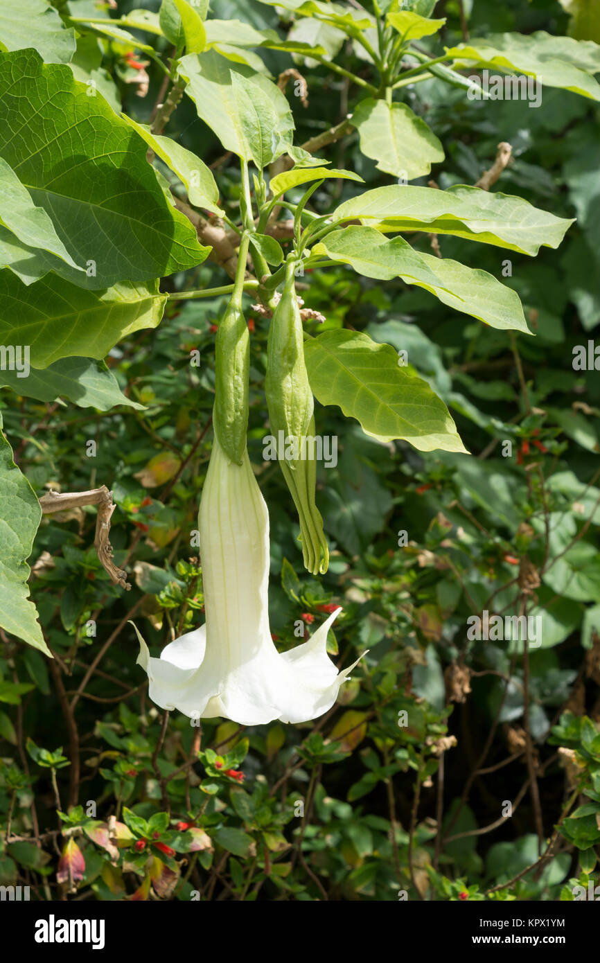 White Brugmansia, commonly known as Angel's Trumpet. One blooming and one in bud. - Stock Image