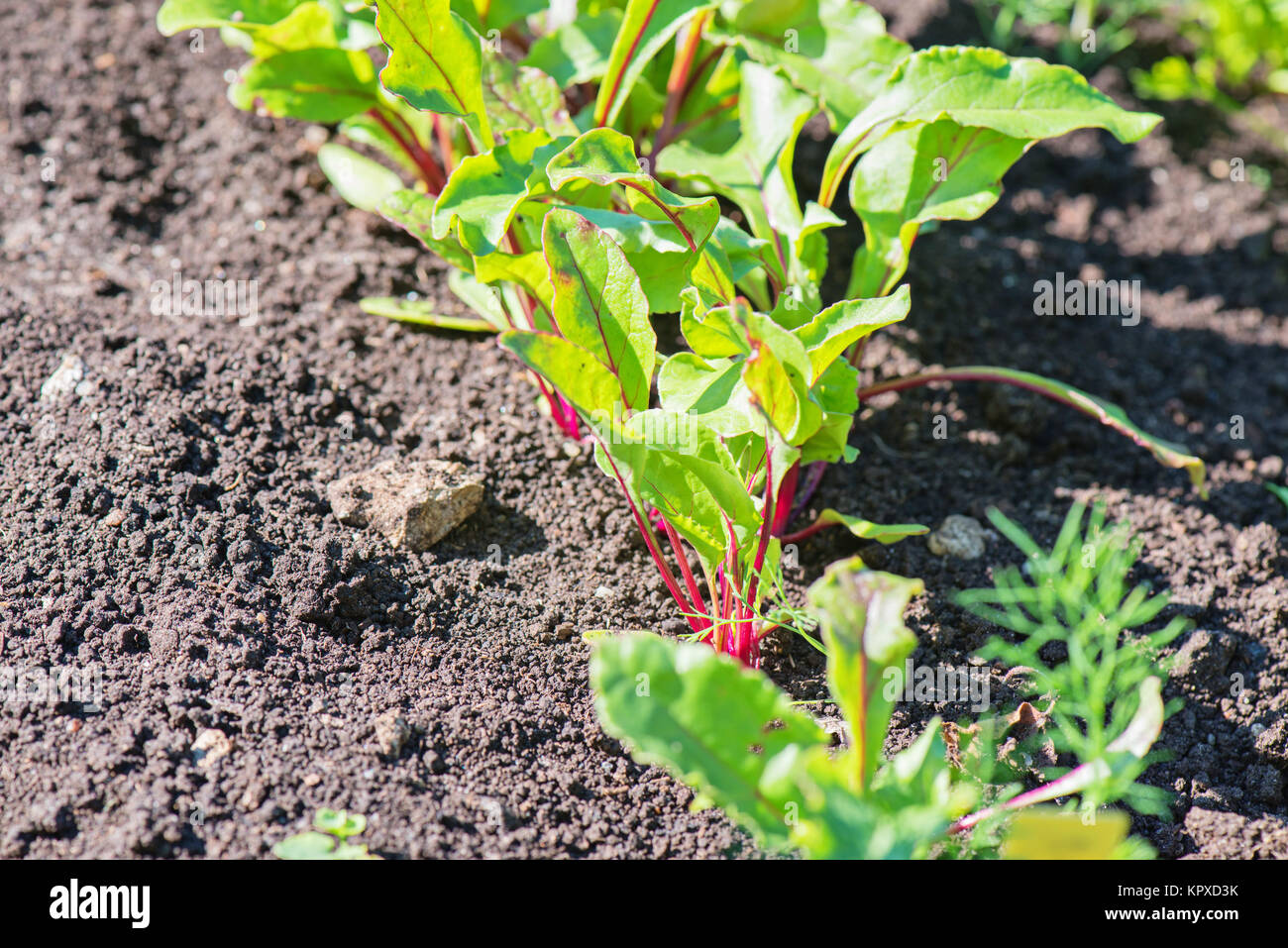 Young beet grows on a bed Stock Photo