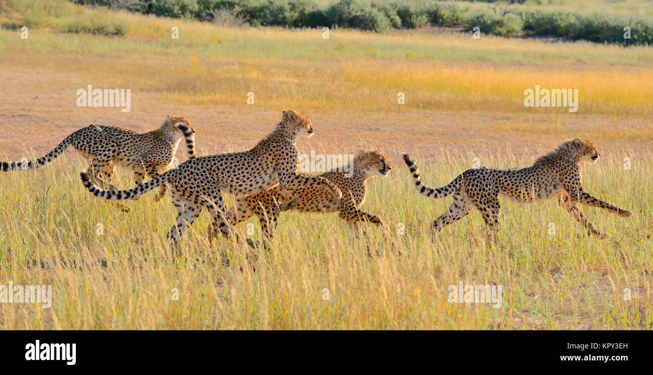 The Kgalagadi Transfrontier park between South Africa and Botswana is prime desert land for viewing wildlife in - Stock Image