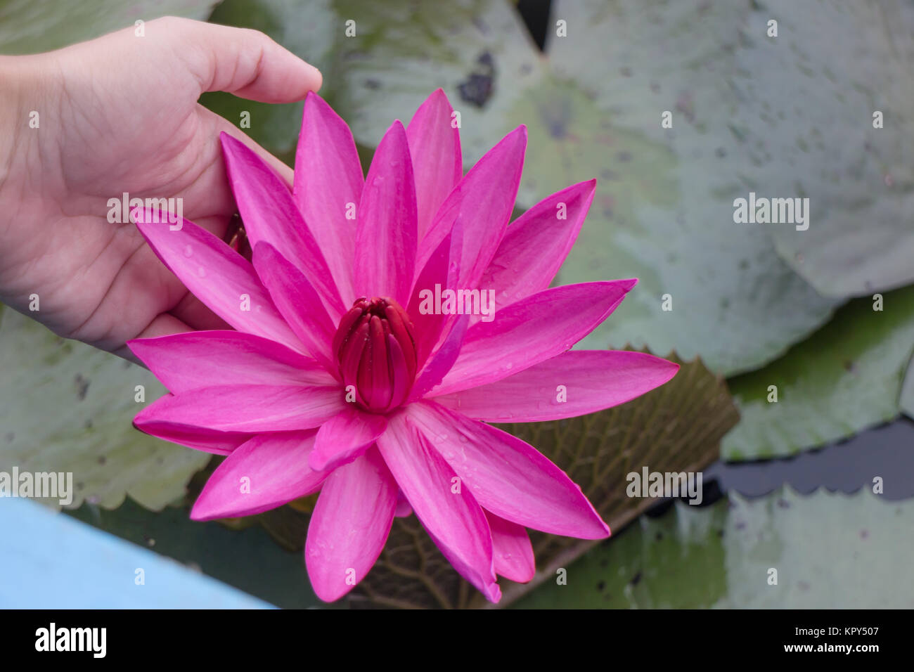 Hand On Pink Lotus Flower In The Lake Stock Photos Hand On Pink
