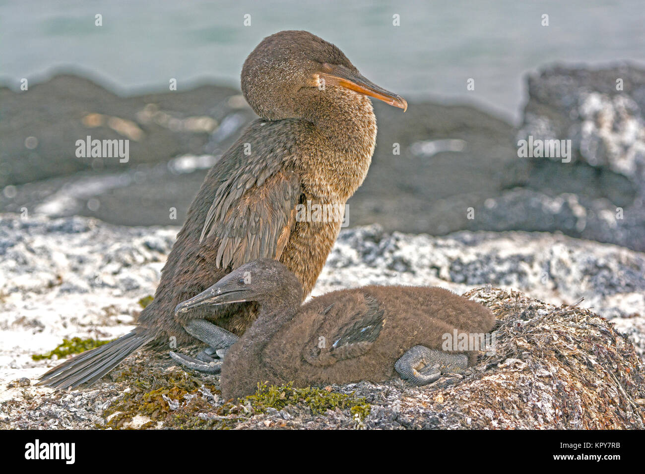 Flightless Cormorant and Its Baby on its Nest - Stock Image