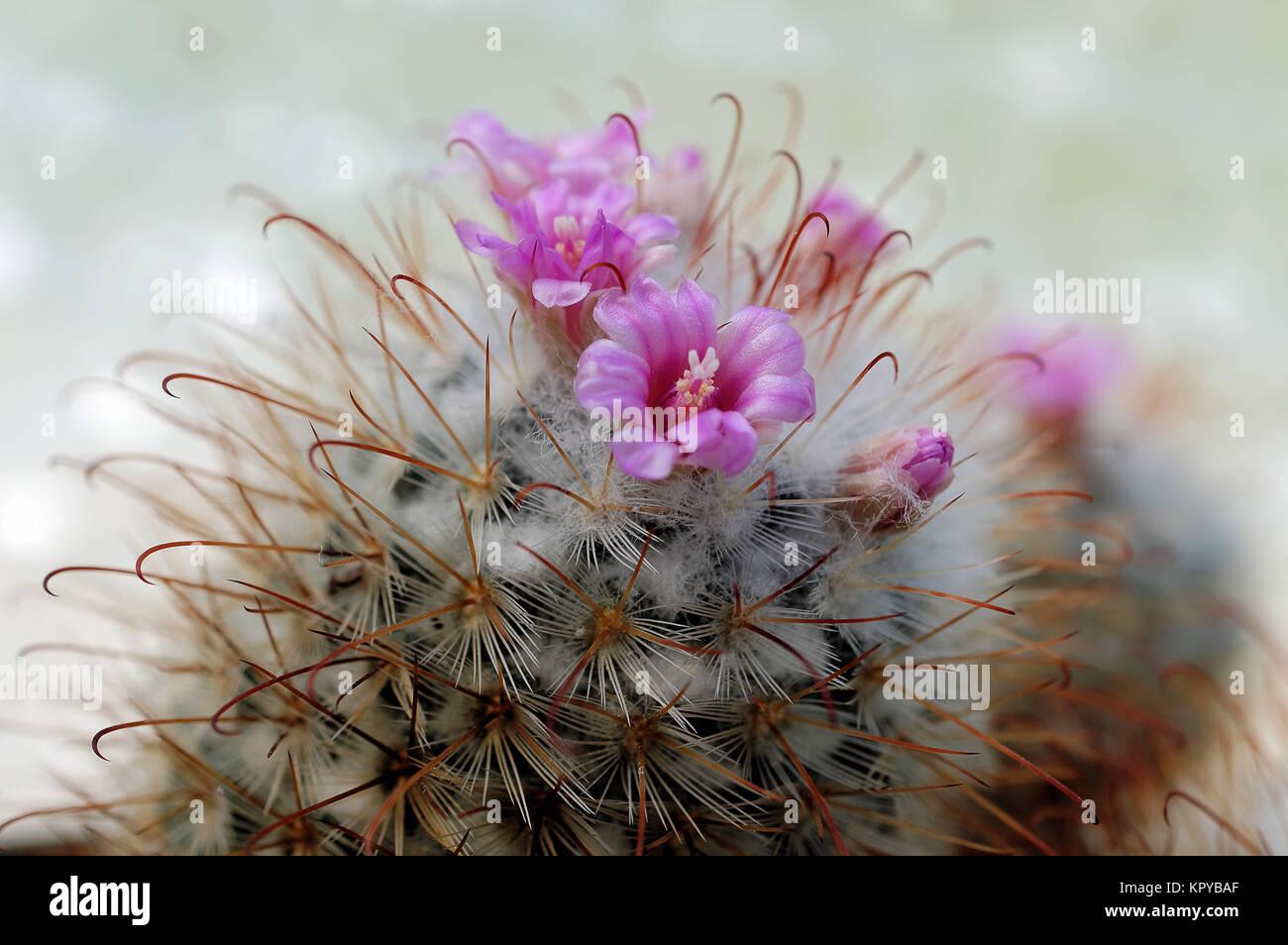 Cactus With Pink Flowers Mammilaria Bombycina Stock Photo