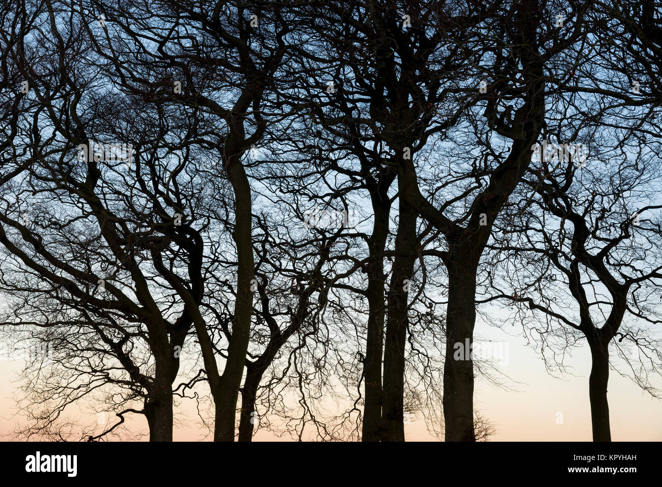Twenty trees, a group of mature Beech trees on a hillside above Hayfield in Derbyshire, England. A cold and clear Stock Photo