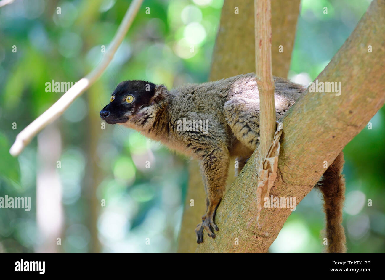 Common brown lemur (Eulemur fulvus), Tanikely national park, Nosy Tanikely, Madagascar - Stock Image