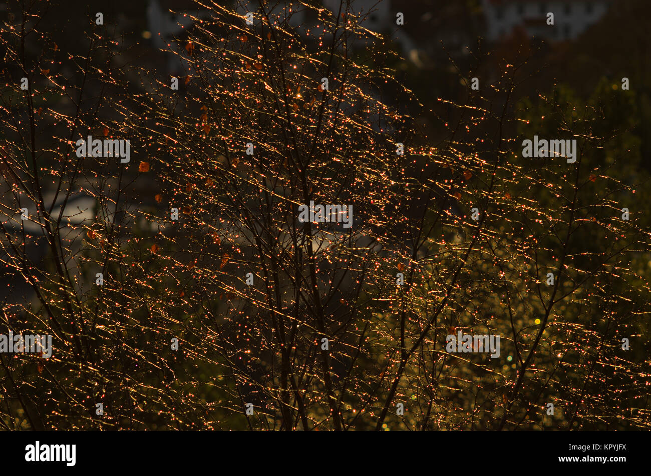 Elevated, high angle view of fragment of the leafless tree, after rain wet and covered by water droplets, and backlighted - Stock Image