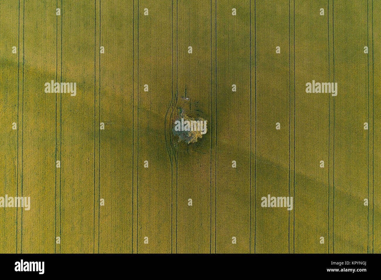 Aerial view of lonely tree in the middle of green wheat field with tractor tracks crossing the field - Stock Image