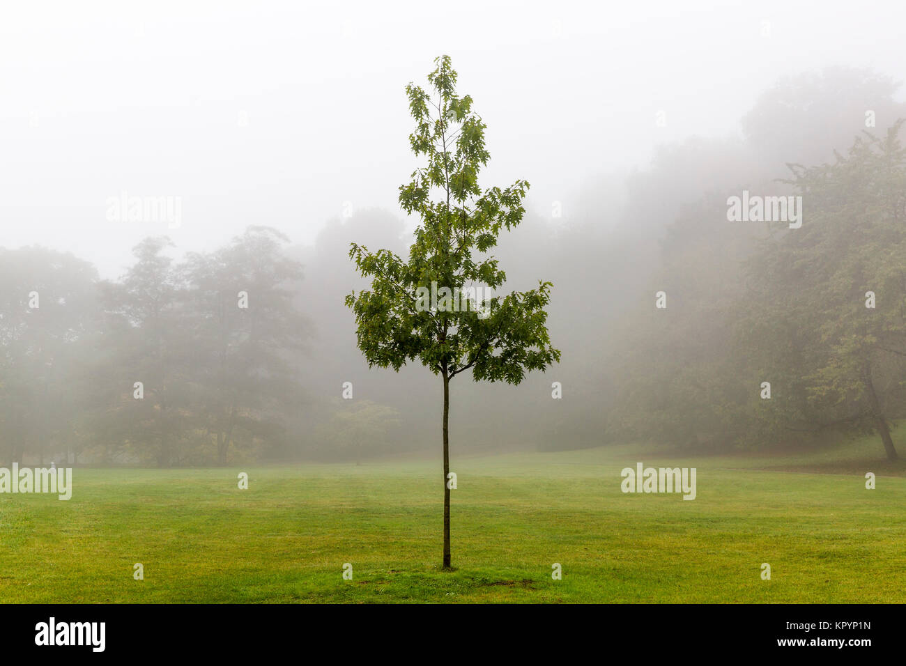 Lonely tree in the forest in the fog - Stock Image