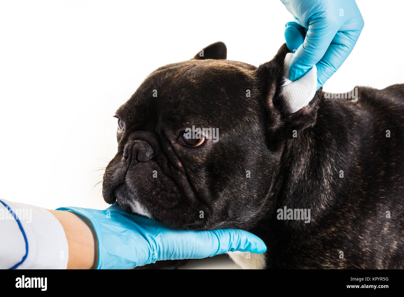 Veterinary clinic with a French bulldog making a cleaning ears - Stock Image