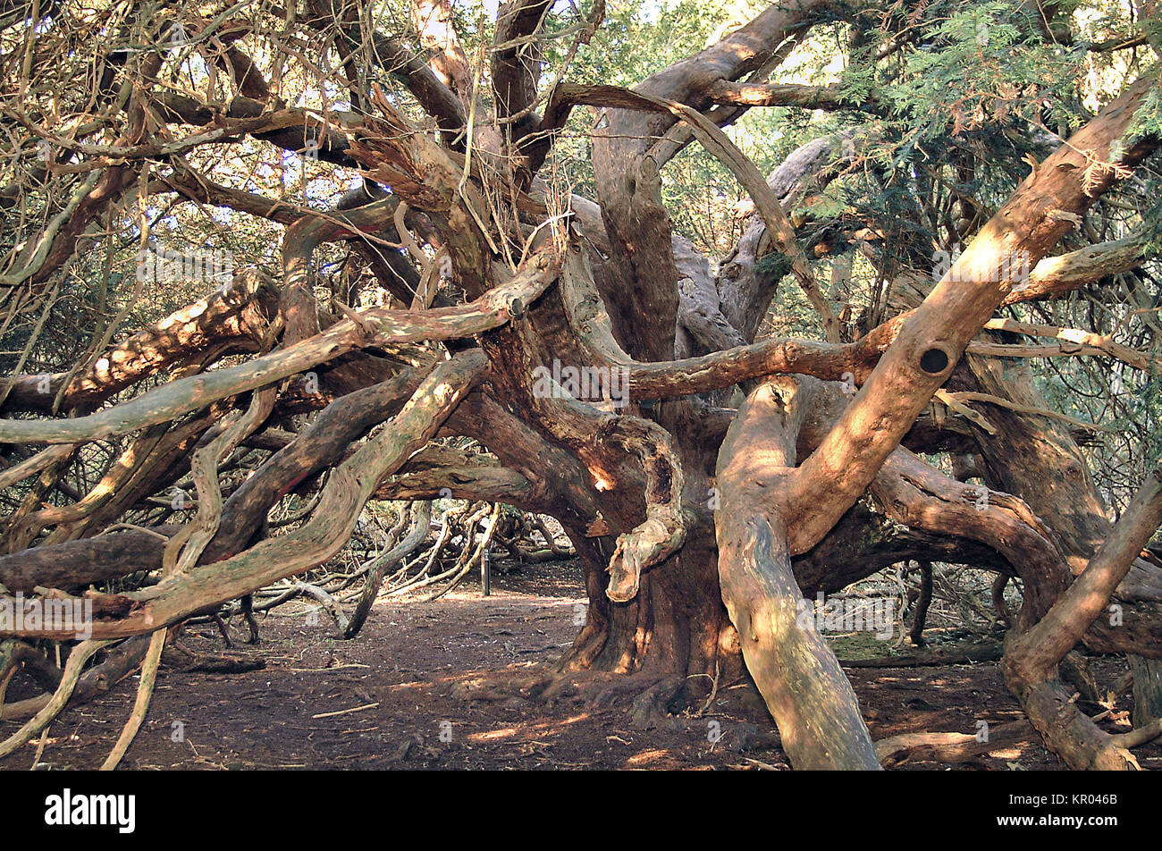 Ancient Yew Trees in Kingley Vale National Nature Reserve, Chichester, England - Stock Image