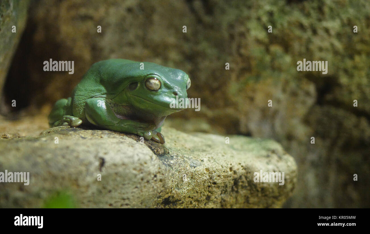 Green tree frog sleep on the stone. Frog sleeping in an aquarium at the zoo, the frog humbly sleeping - Stock Image