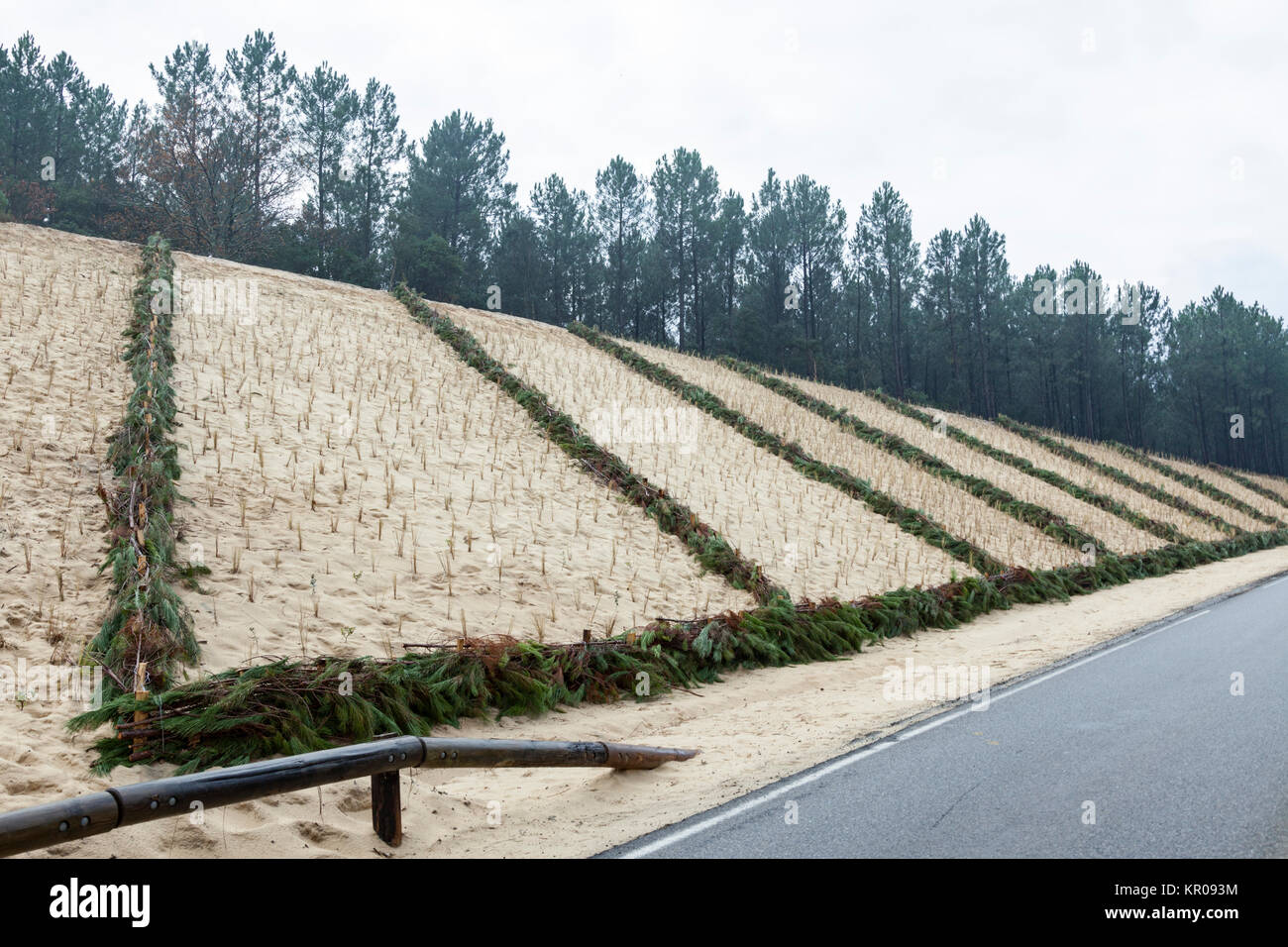 On a sand dune at Capbreton (Landes - France): a recent planting of beach grasses plus using of a mechanical fixation - Stock Image