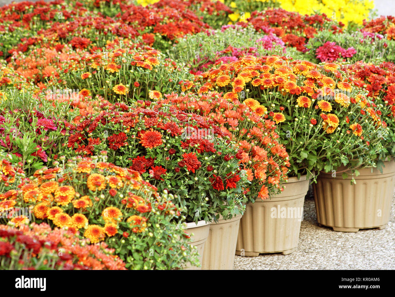 Colorful Garden Mums For Sale - Stock Image