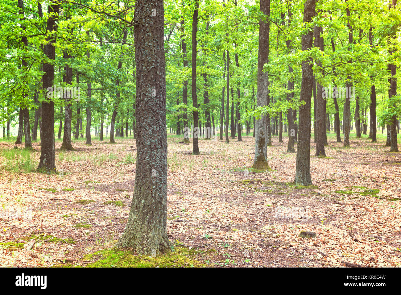 Green forest with oak trees - Stock Image