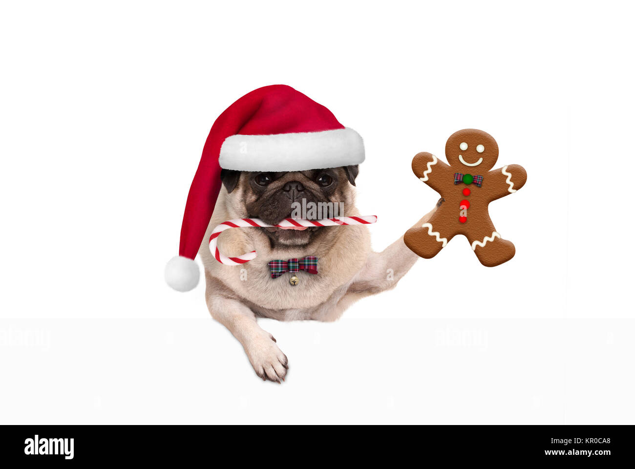 cute Christmas pug dog with santa hat and candy cane, holding up gingerbread man cookie, hanging on white banner, - Stock Image