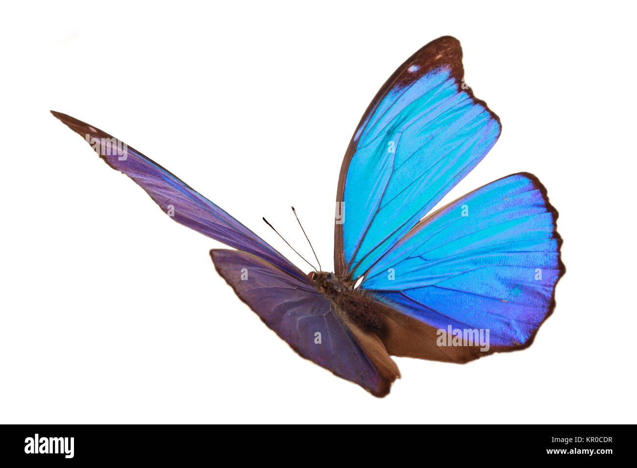 Blue tropical butterfly. - Stock Image