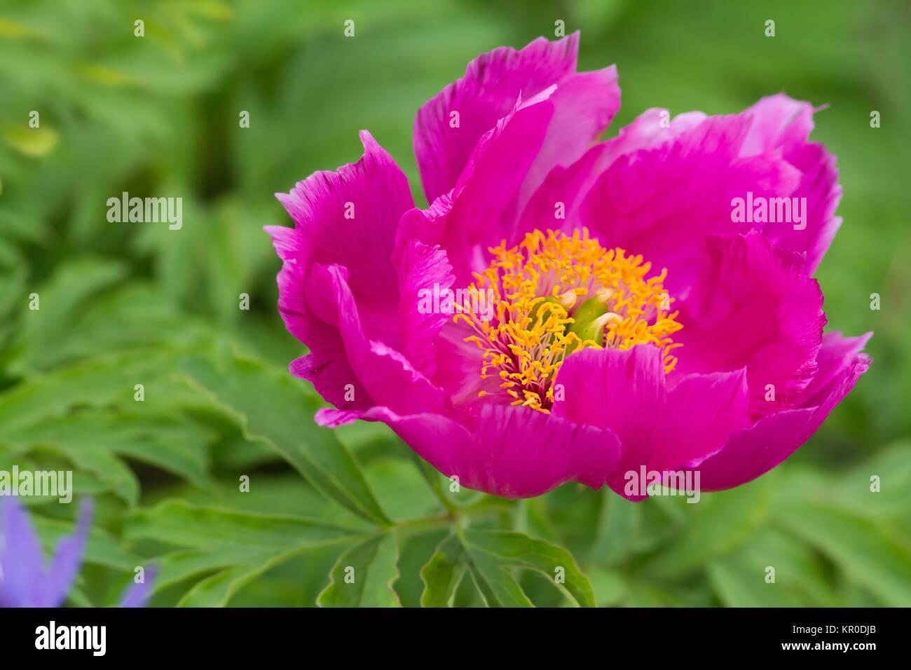 paeonia officinalis / common peony Stock Photo