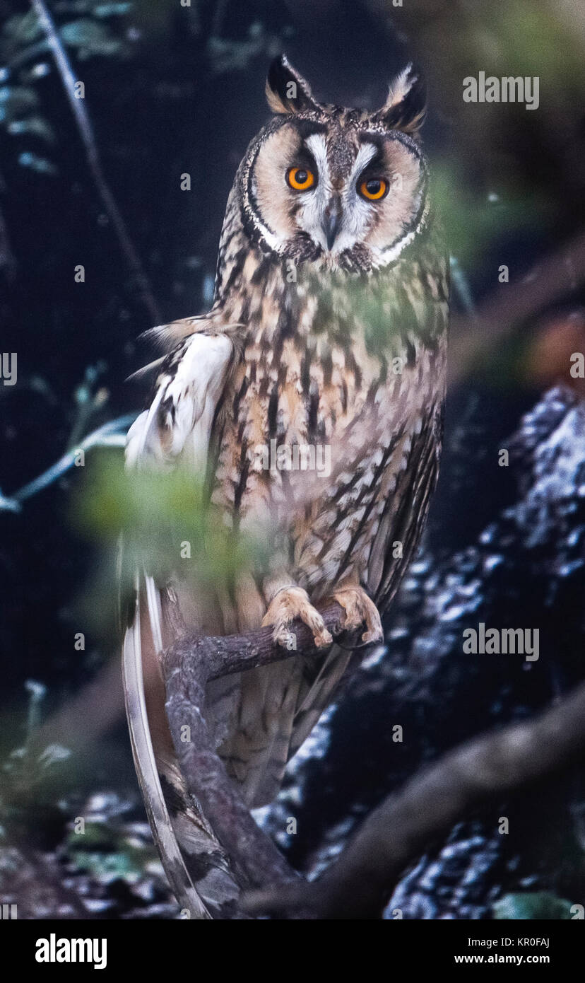 Long-eared Owl perched - Stock Image