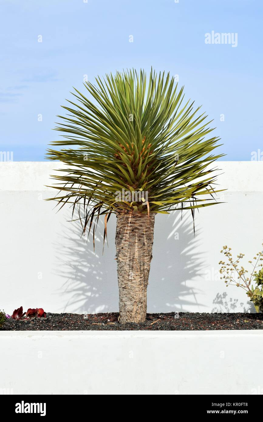 blaublättrige yucca art,latin yucca rostrata,in front of white wall and blue sky - Stock Image
