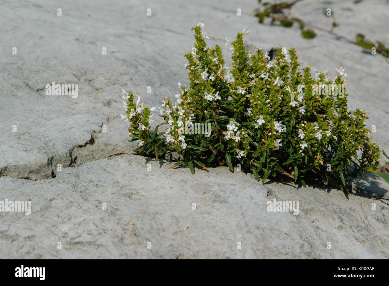 The power of nature - a wild plant that grows in the rock - Stock Image