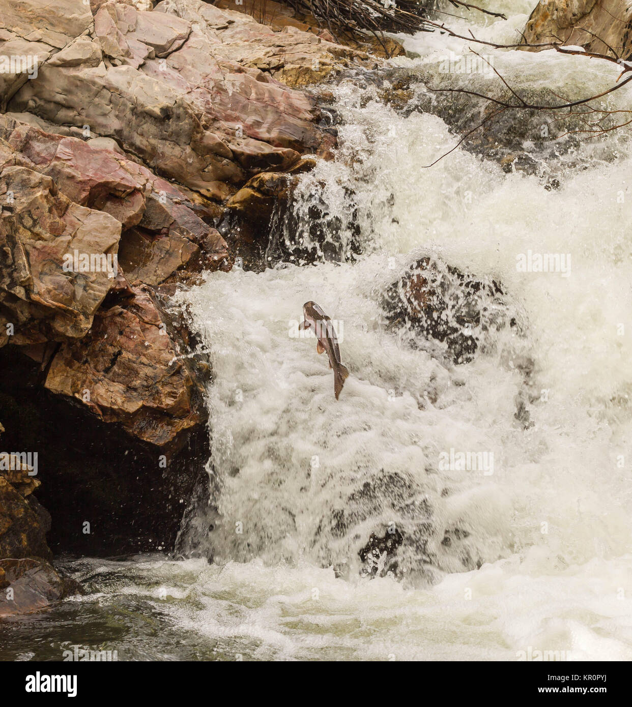 Heading Home- A Steelhead Returns to Spawn - Stock Image
