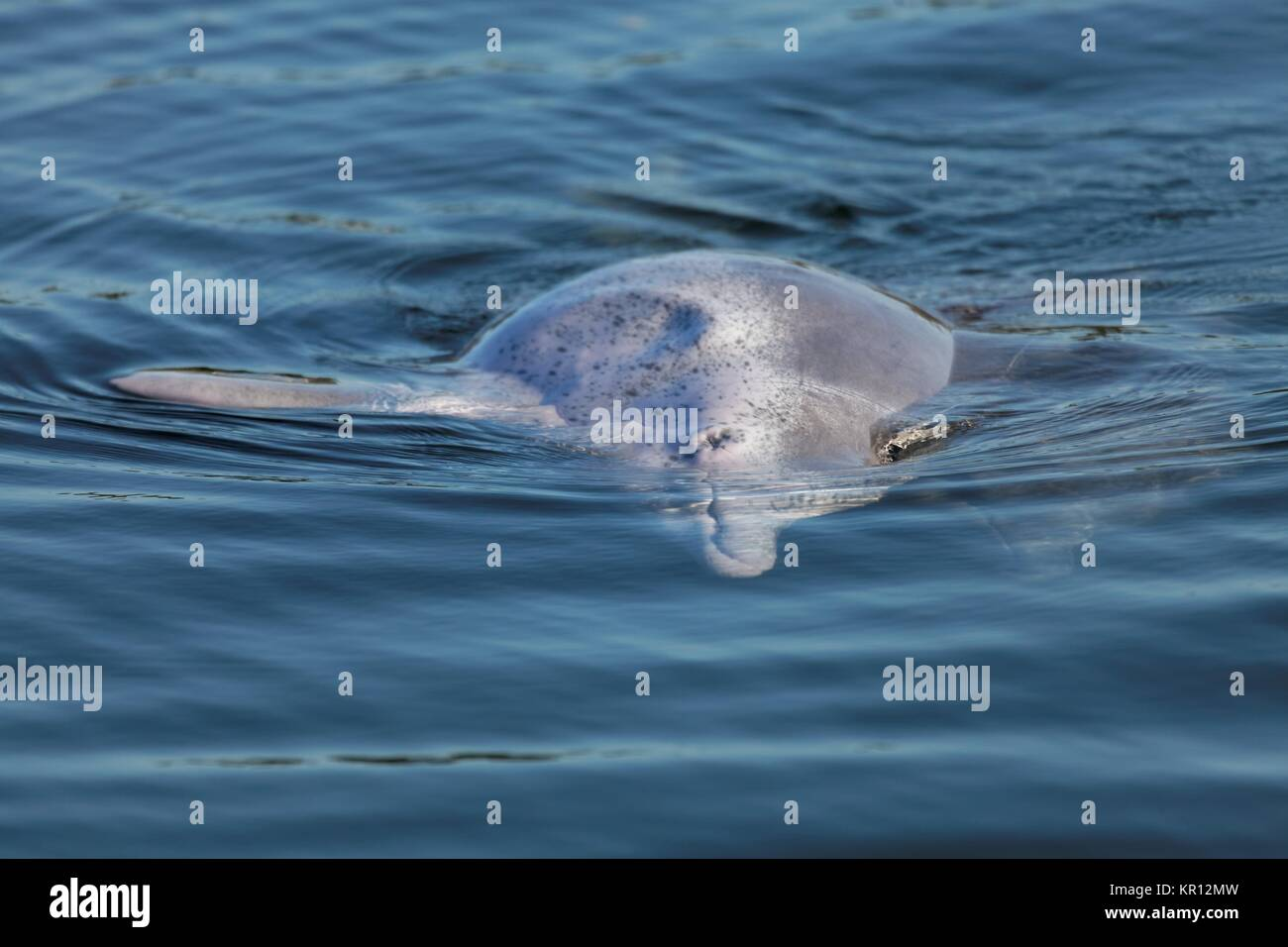 Australian Humpback Dolphin - Stock Image