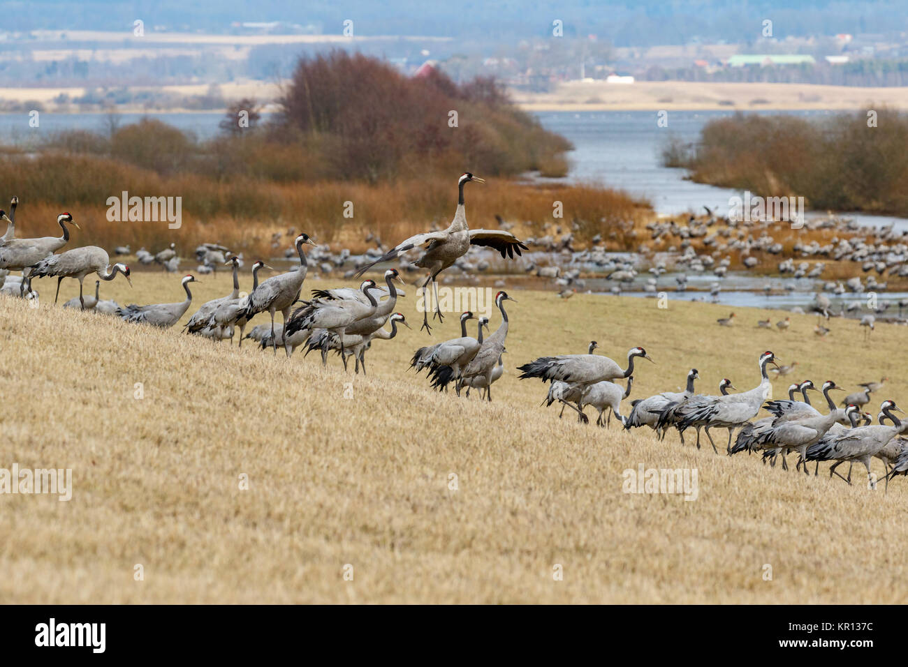 Dancing Cranes on a field Stock Photo
