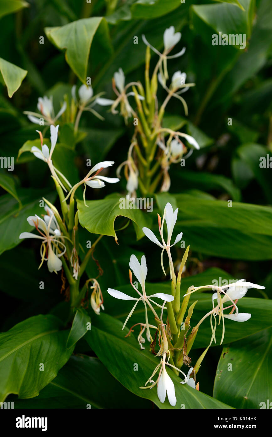 Hedychium Coronariumbutterfly Ginger White Ginger Garland Stock