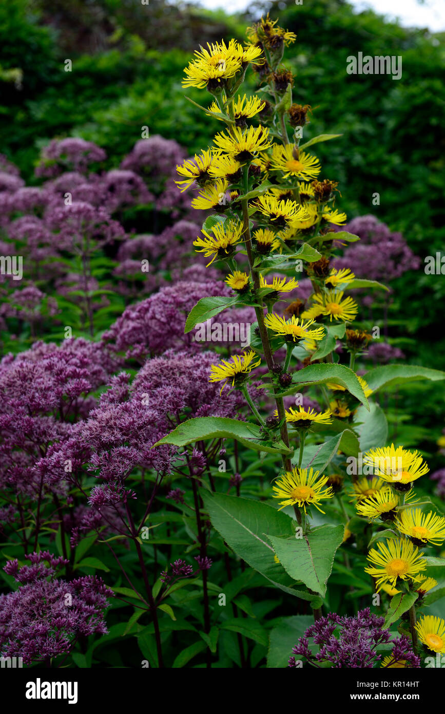 heliopsis,yellow, Eupatorium maculatum Atropurpureum Group,joe pye weed,mauve-pink flowers,purple stems,flowers,flowering,insect - Stock Image