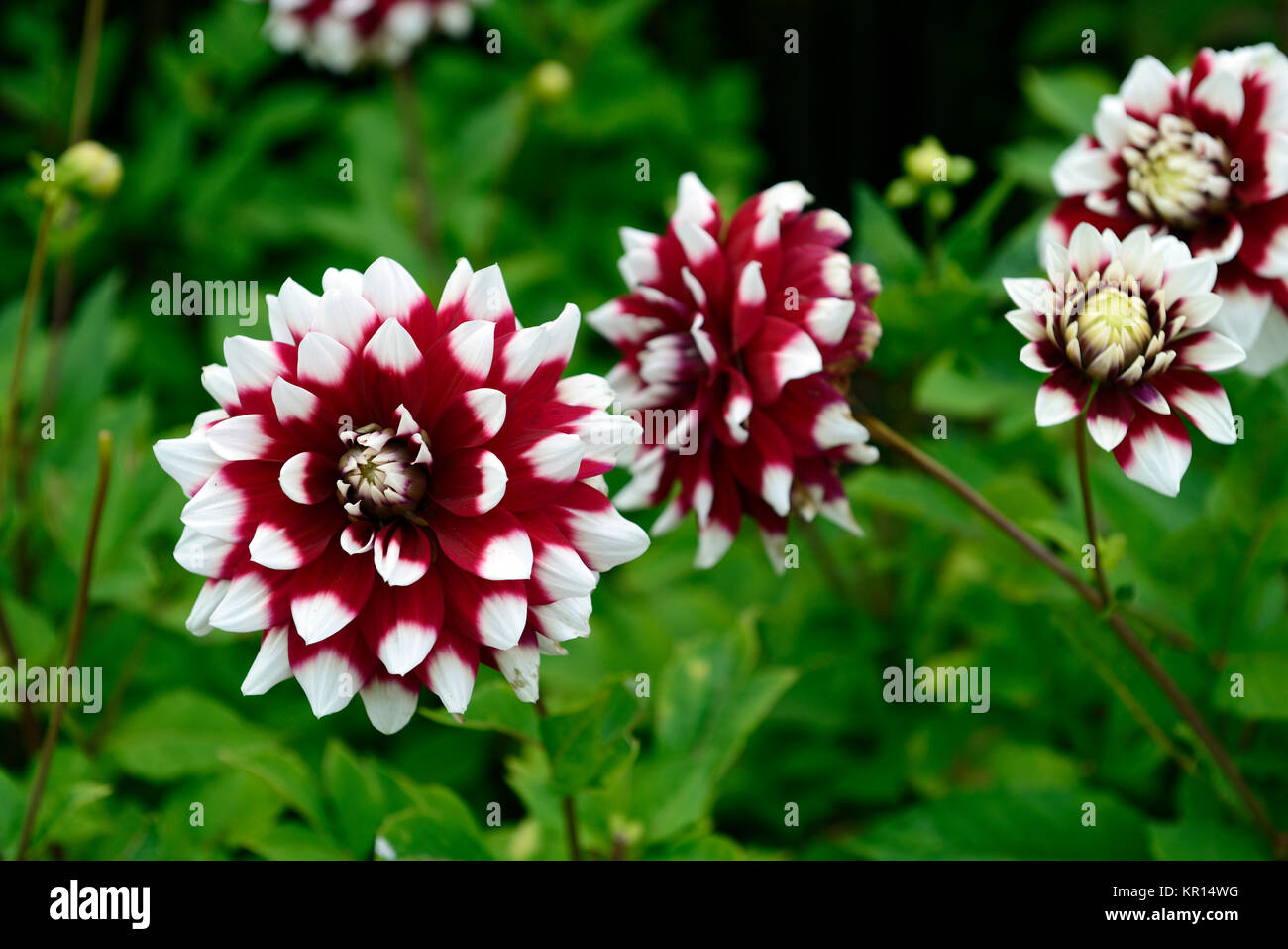 Redwhitedahliaflowerflowersfloweringperennialtuberrm Floral