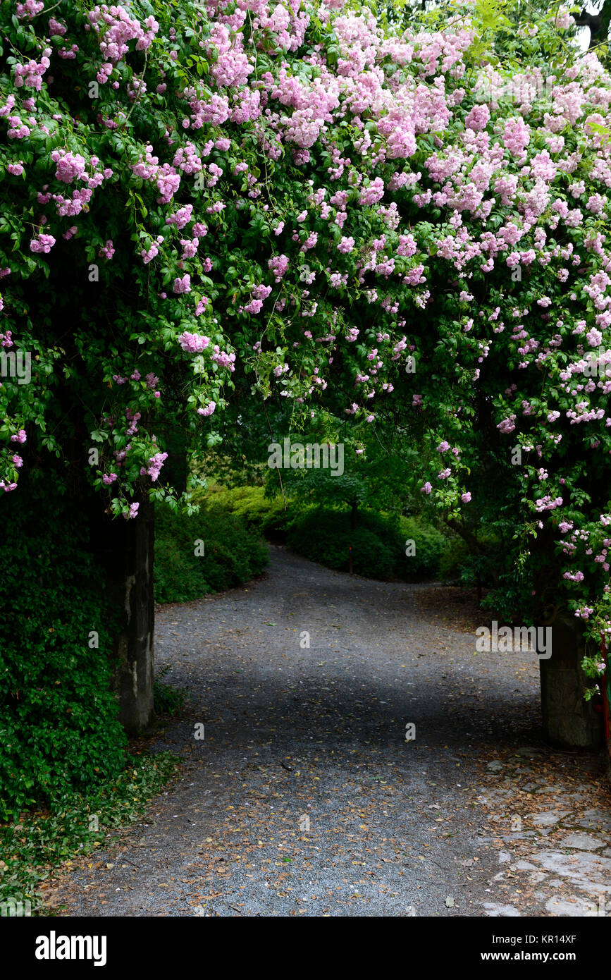 Rosa Pauls Himalayan Musk,climbing,climber,rose,roses,pink,flowers,flower,flowering,RM Floral - Stock Image
