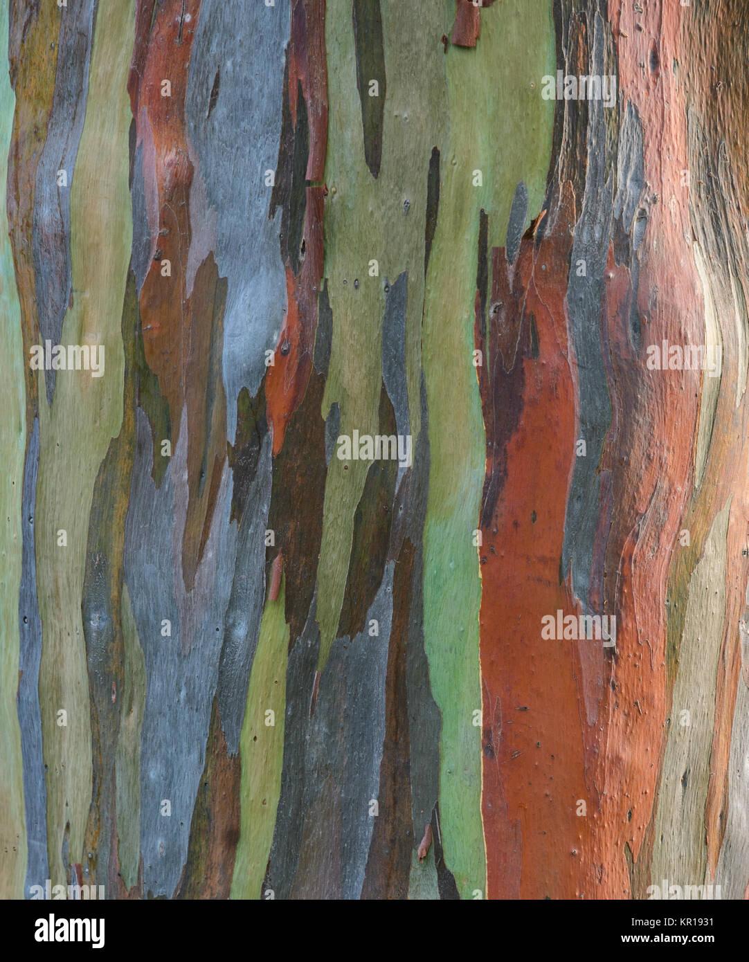 Eucalyptus deglupta tree bark texture - Stock Image