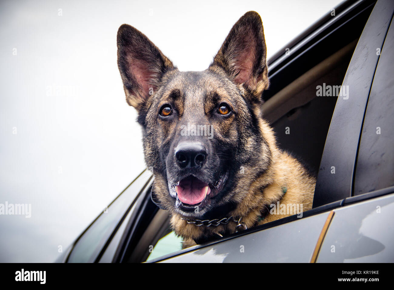German shepherd dog leaning out of a car window - Stock Image