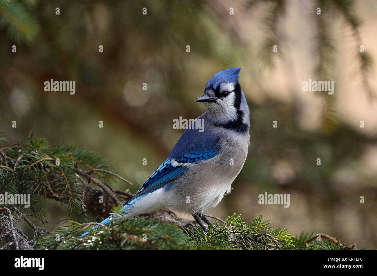 An eastern Blue Jay, Cyanocitta cristata, perched on a spruce tree branch in Alberta Canada Stock Photo