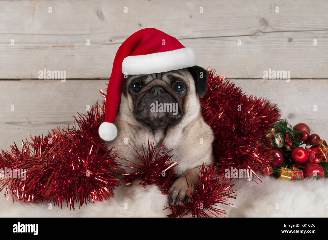 cute Christmas pug puppy dog, lying down in red tinsel wearing santa claus hat, on sheepskin with ornaments and - Stock Image