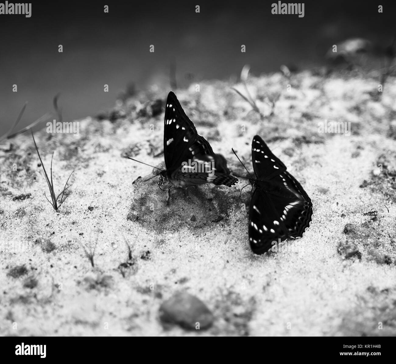 Horizontal Two Black And White Butterflies On Sand Bokeh Backgro