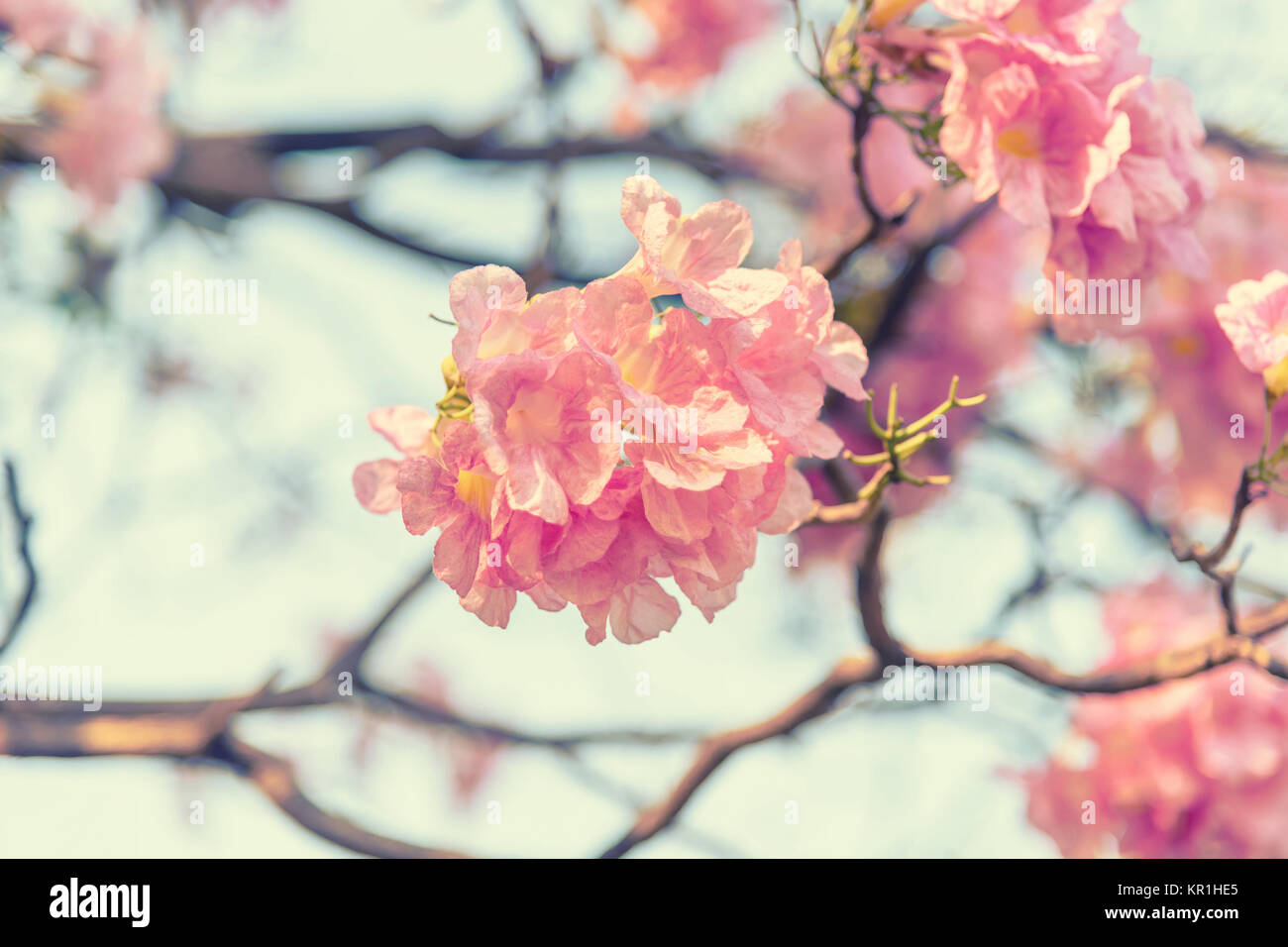 Pink trumpet flower stock photo 169066077 alamy pink trumpet flower mightylinksfo