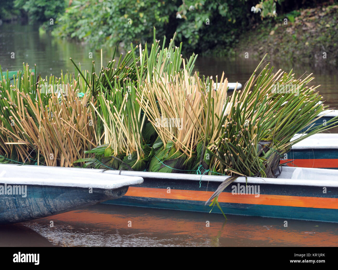 Trimmed plants of Carludovica palmata in a canoe ready for transport and transplanting. These plants are used for - Stock Image