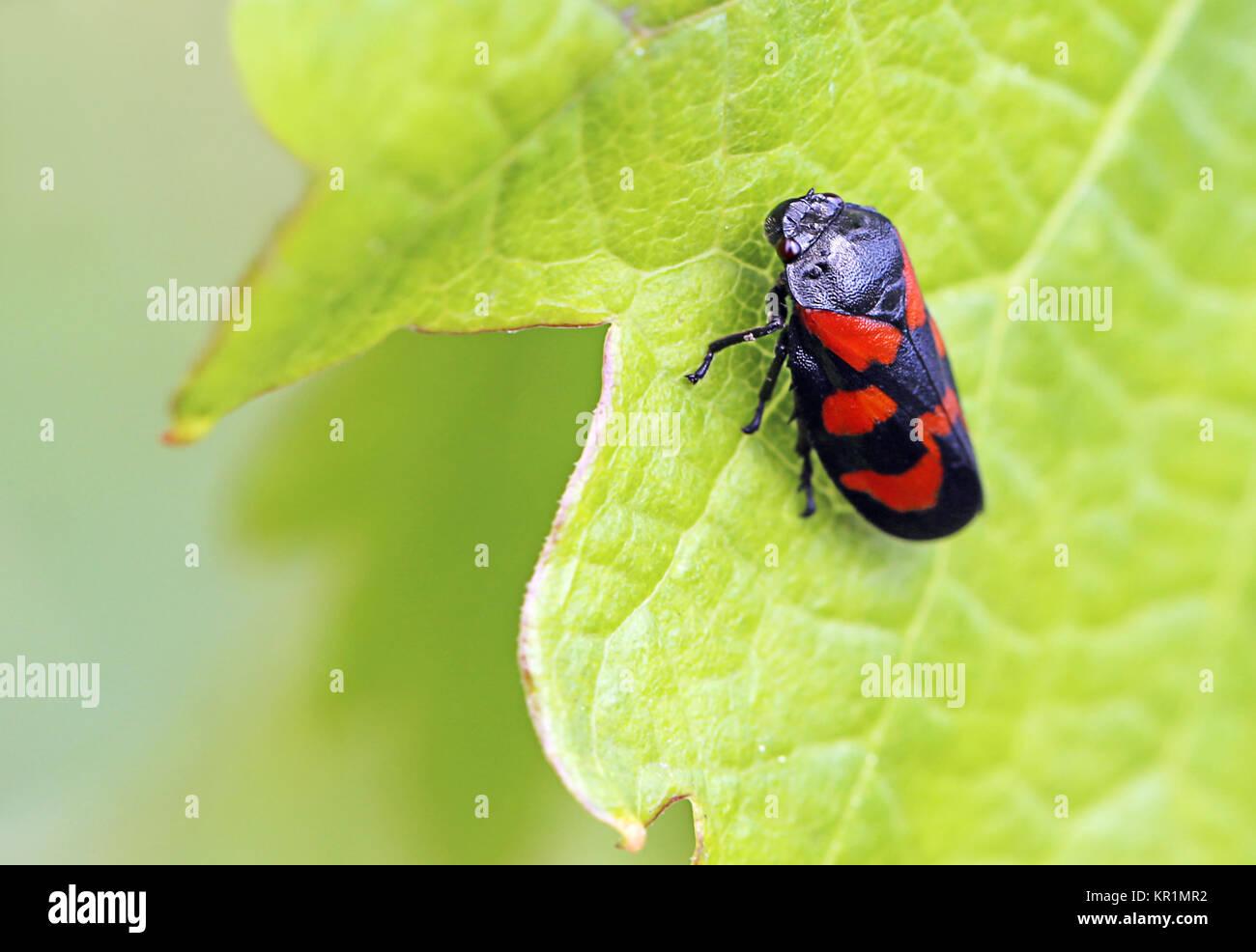 froghopper cercopis vulnerata on grape leaf Stock Photo