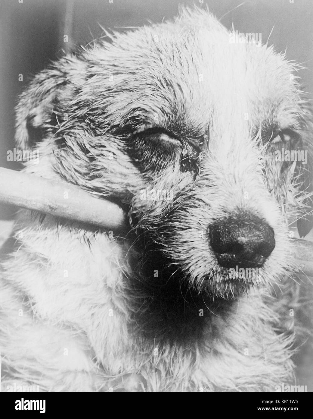 Close-up of a dog's face during late-stage 'dumb' paralytic rabies, 1963. Animals with 'dumb' - Stock Image
