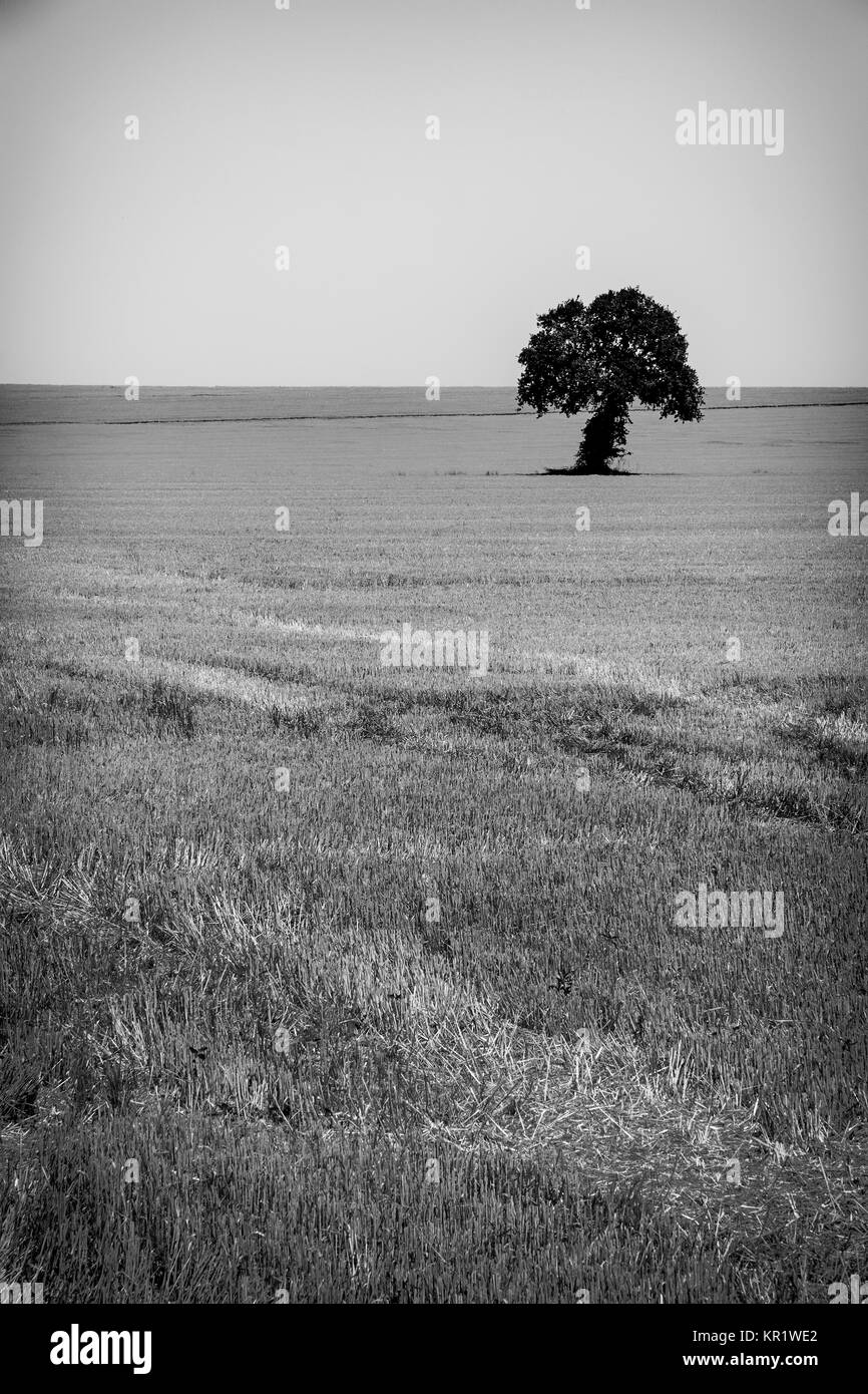 Black and white image of a lonely tree on a harvest wheat field - Stock Image