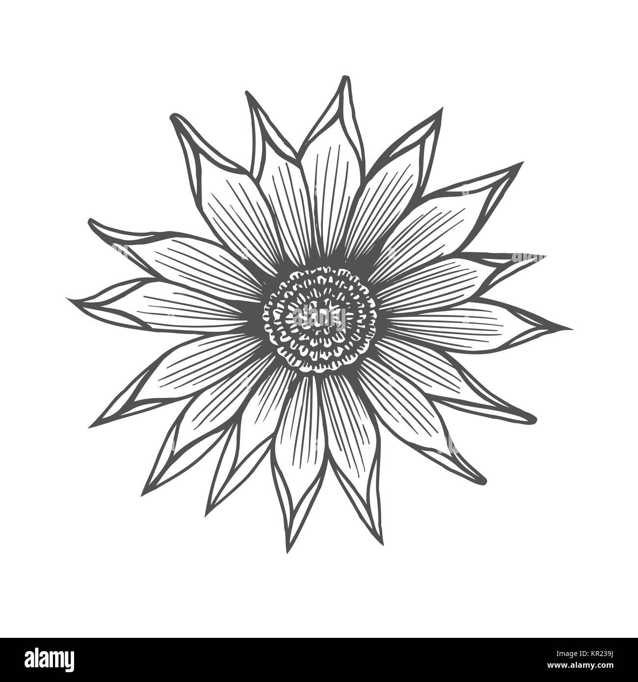 Chrysanthemum flower illustration, line pattern. Vector artwork ...
