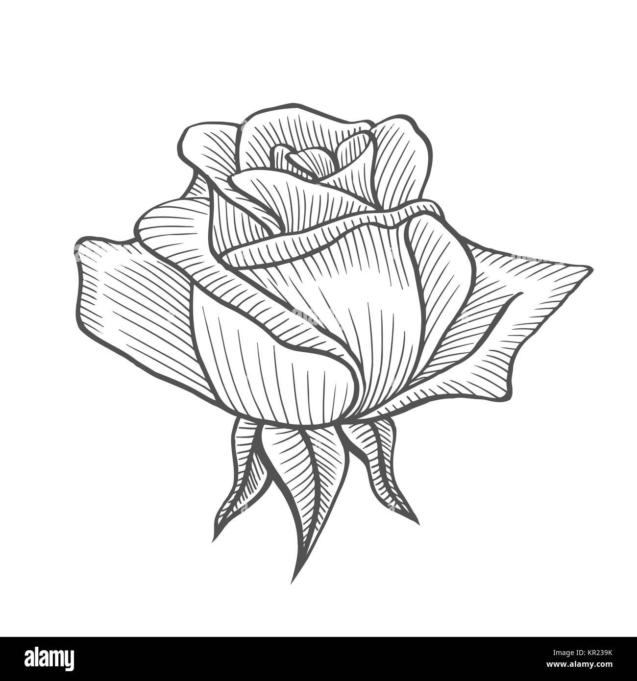 Rose flower illustration, line pattern. Vector artwork. Coloring ...