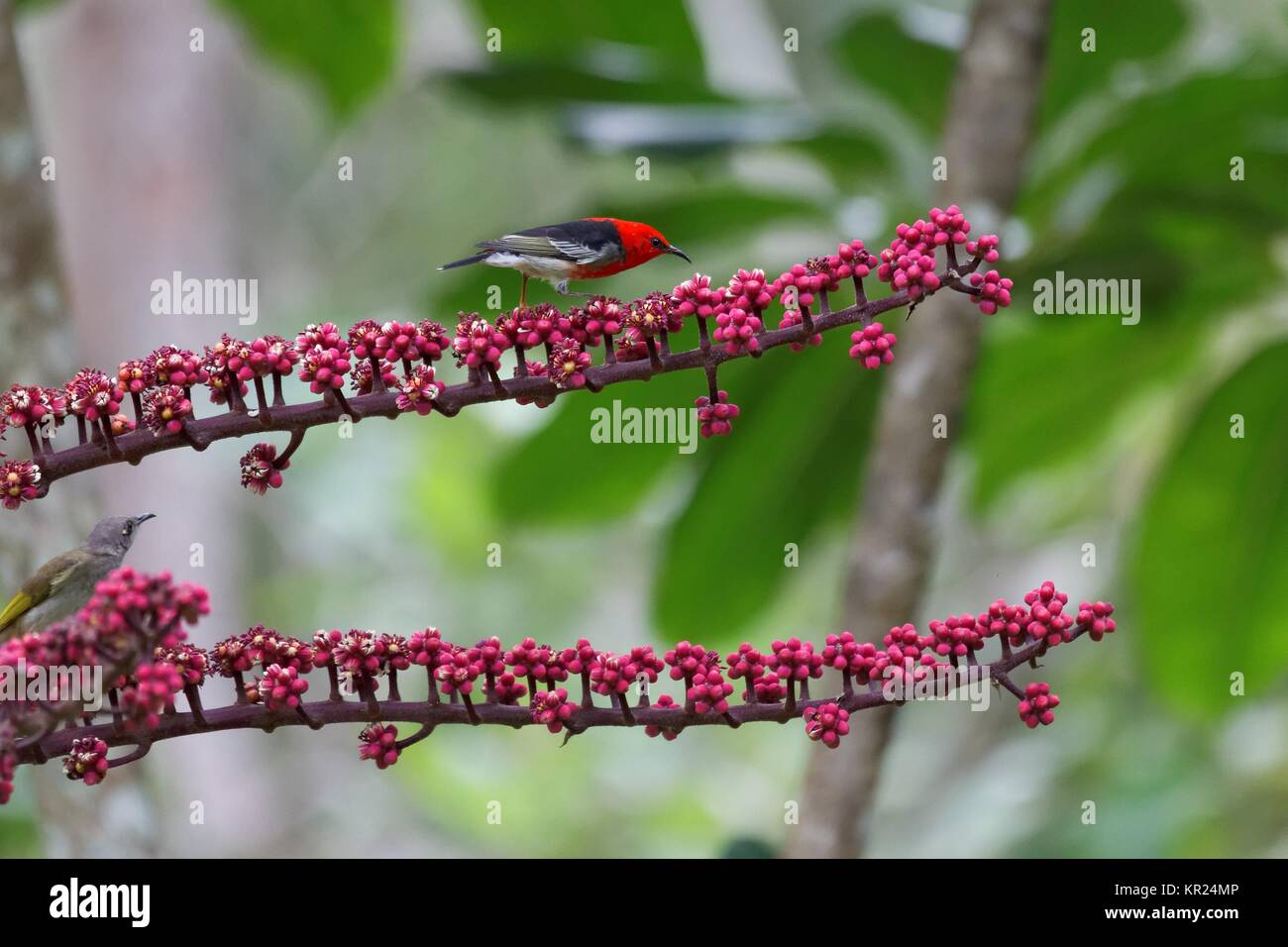 scarlet honeyeater - Stock Image