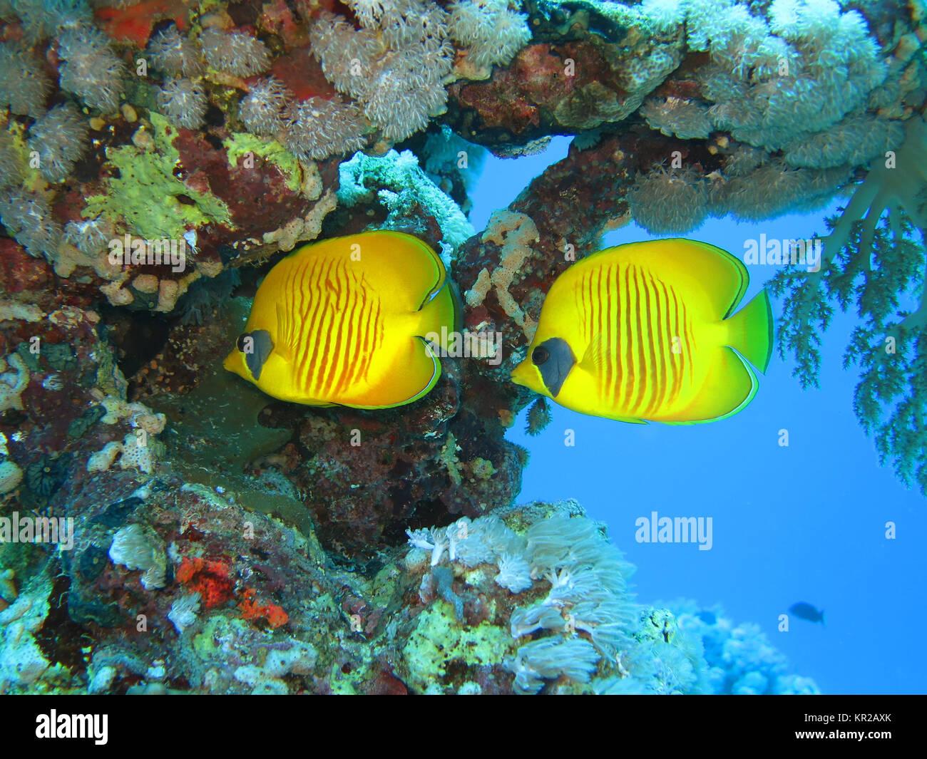 Masks-butterfly's fish Chaetodon semilarvatus, Saint John?'s reef, the Red Sea, Egypt / Egypt, Masken-Falterfische - Stock Image