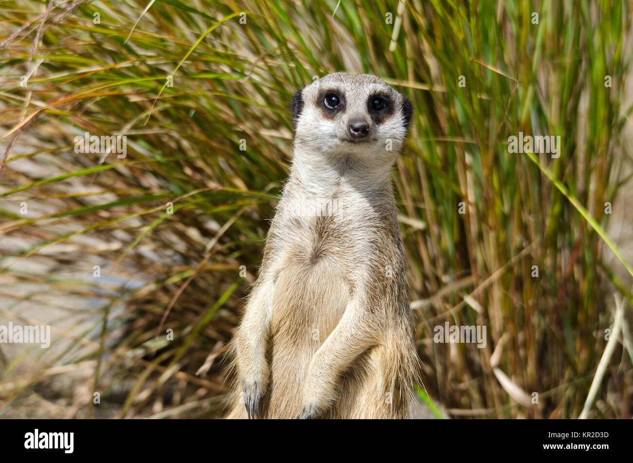 Meerkat Sitting on Guard - Stock Image