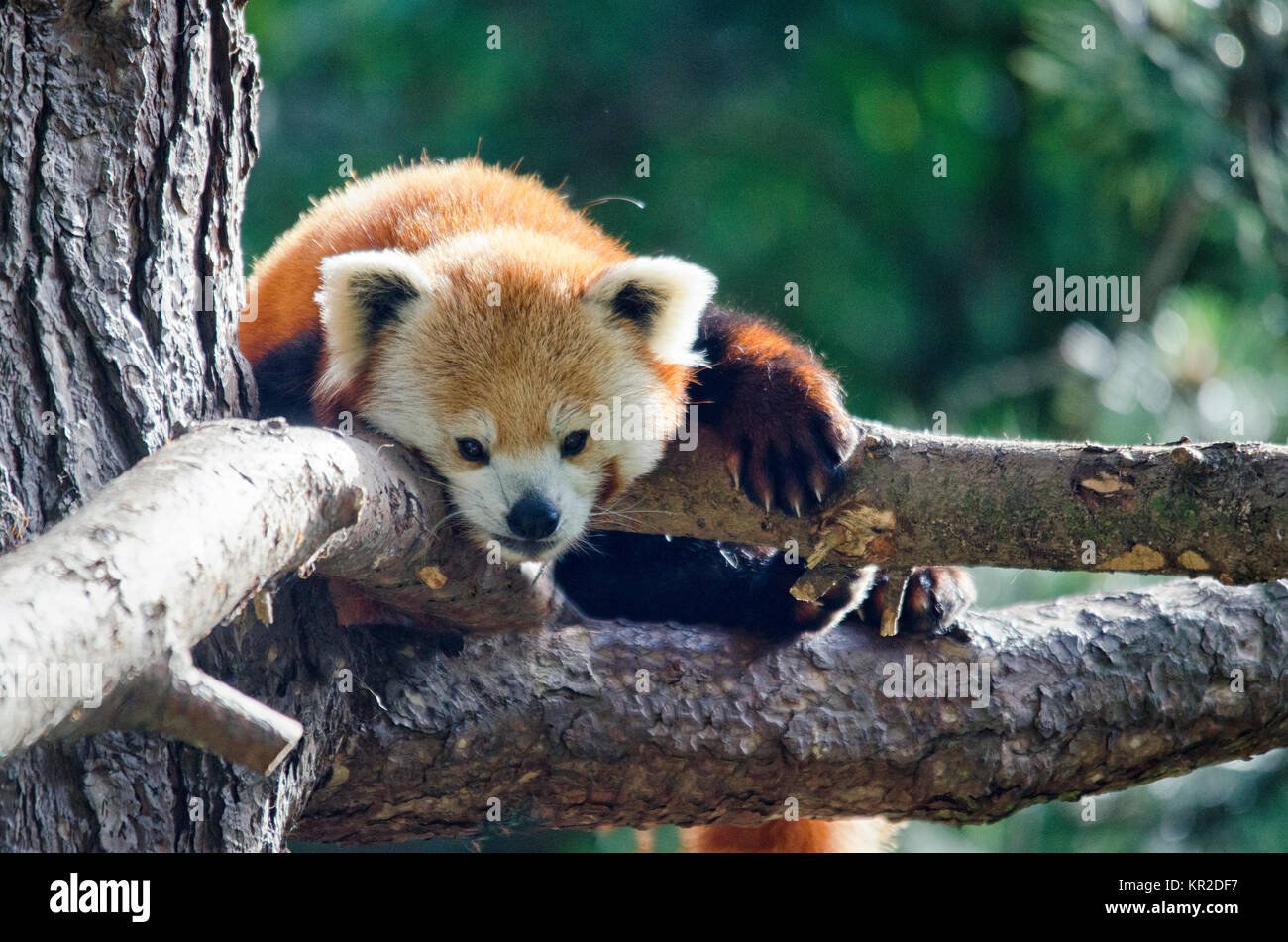 Endangered Red Panda in a Tree - Stock Image
