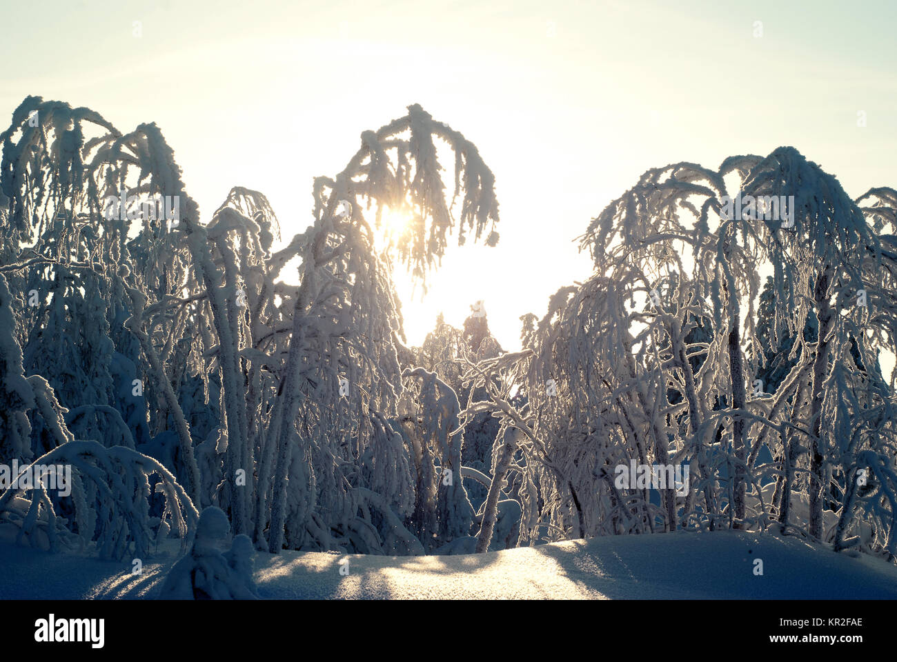 northern forest, covered with deep snow, shot in the low-light backlight; the sun shines through the snowy branches - Stock Image