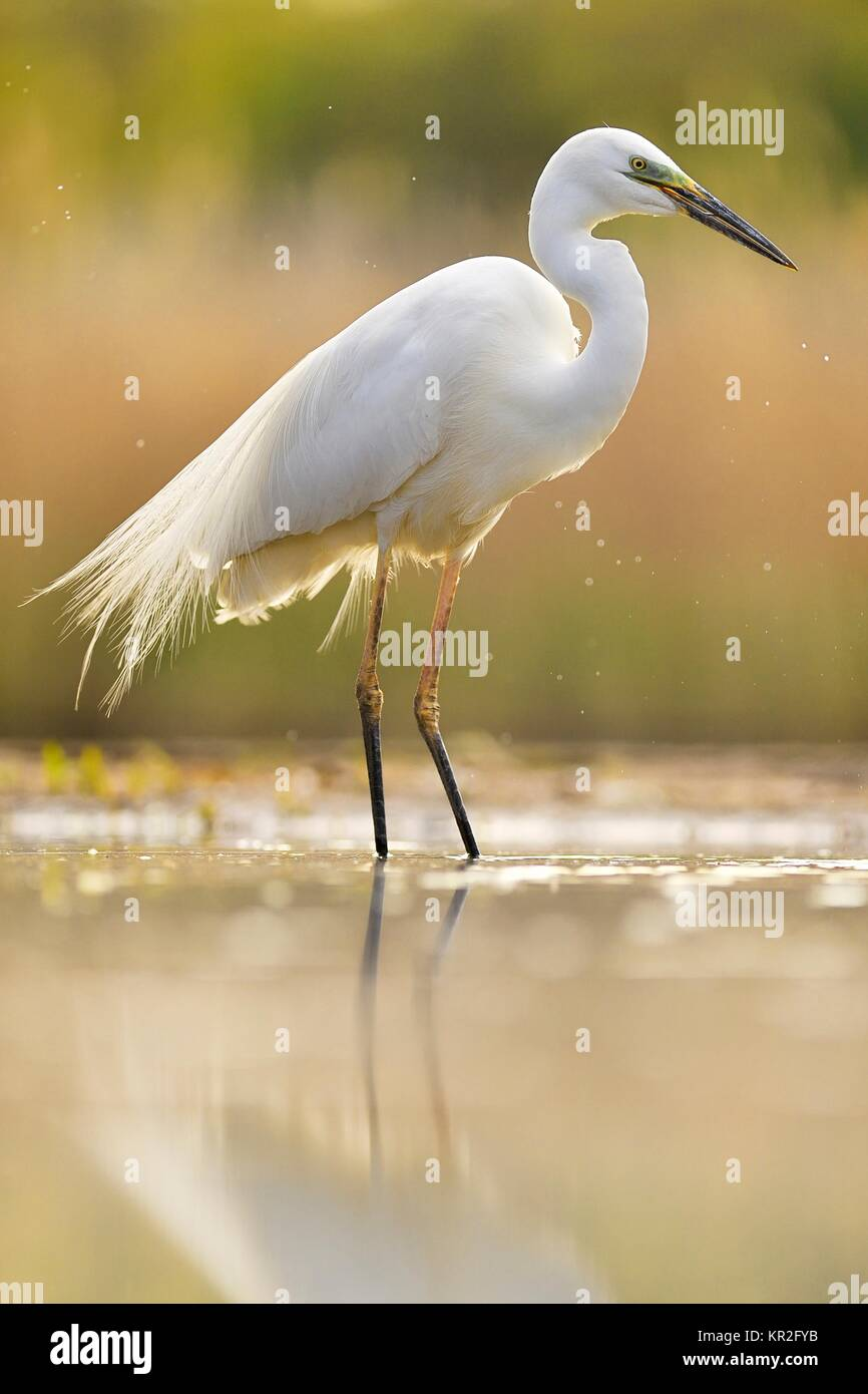 Great egret (Ardea alba), located in the water, National Park Kiskunsag, Hungary - Stock Image
