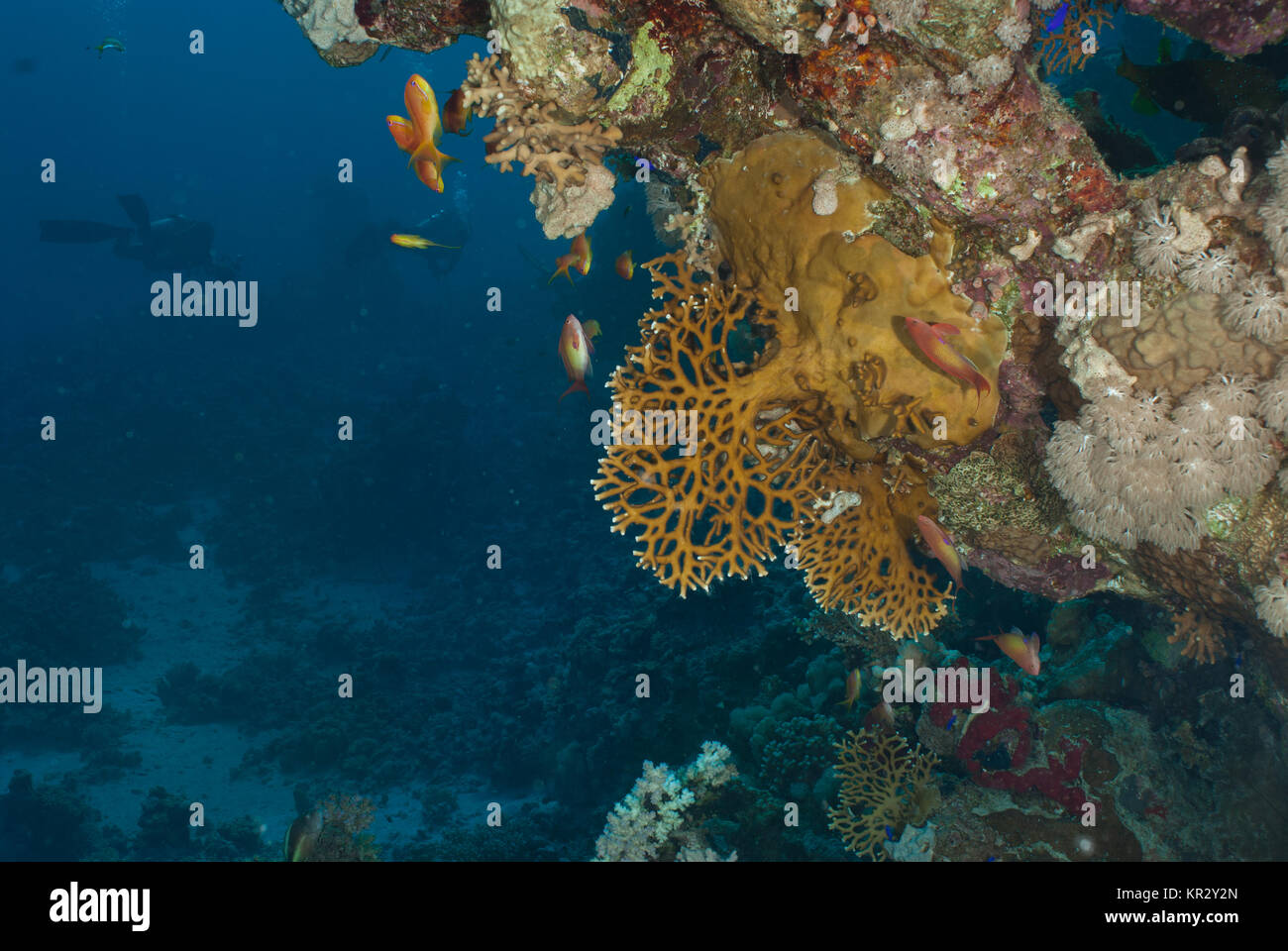 Fire Coral, Millepora dichotoma, Milleporidae, Sharm El-Sheik, Red Sea, Egypt - Stock Image