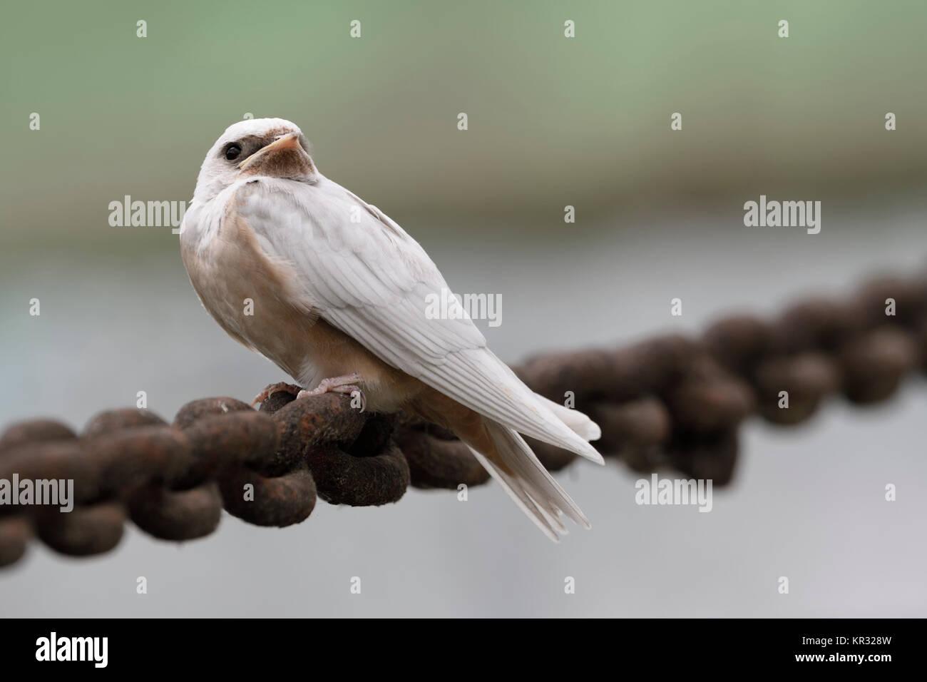 Barn Swallow / Rauchschwalbe ( Hirundo rustica ), young, pigment defect, white plumage, leucistic, leucism, perched - Stock Image